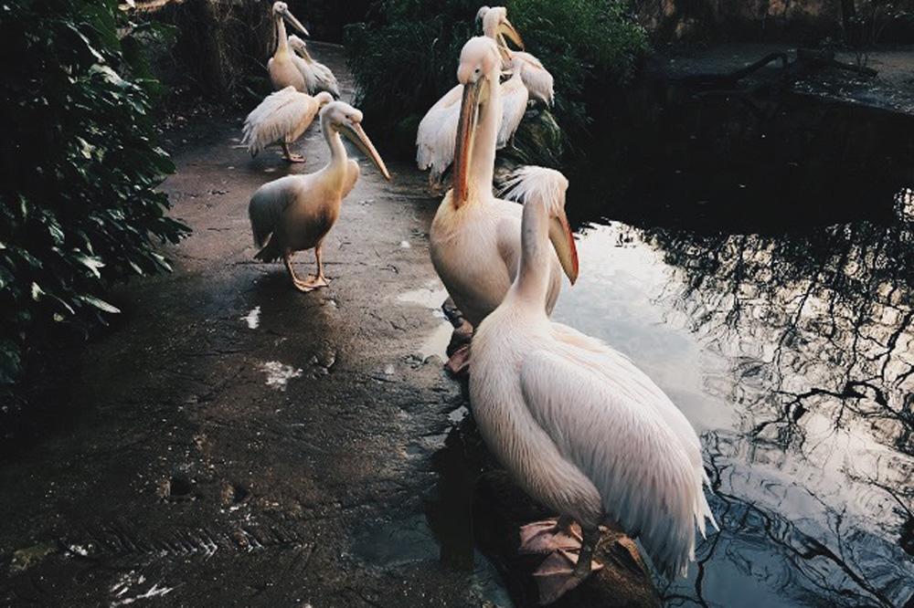 Hannover_Zoo_Pelikan